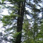 The Trinity Tree